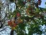 Engenheiro agrônomo destaca floração da corticeira, uma árvore medicinal
